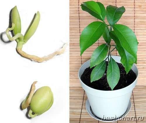Як виростити мандарин з кісточки в домашніх умовах