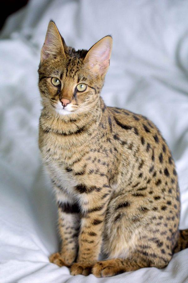 Чому домашнім кішкам плювати на своїх господарів? Цікаво